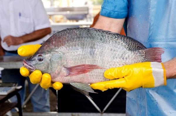 A Feira do Peixe do peixe é uma ótima oportunidade para o consumidor economizar e ao mesmo tempo valorizar a produção local (Foto: Divulgação/PMSJP)