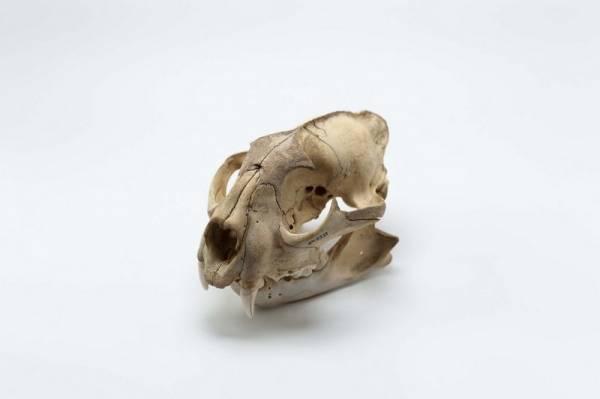 Crânio de onça. Crânio e maxilar inferior de onça. Coleção Vladimir Kozák. Acervo Museu Paranaense. Foto Ingrid Schmaedecke.